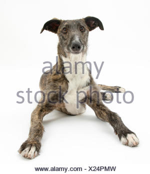 Lurcher dog, Kite, lying with head up, against white background - Stock Photo