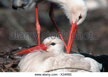 White Stork / Weissstorch - Stock Photo