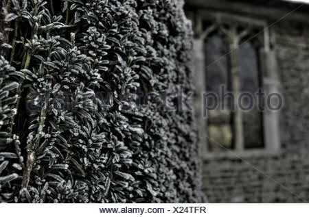 Close up of a yew tree - Stock Photo