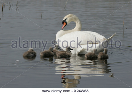 zoology / animals, avian / birds, Mute Swan, (Cygenus olor), swimming in lake with cub, Neusiedler See, Austria, distribution: Europe, Asia, USA, Australia, Great Britain, New Zealand, Additional-Rights-Clearance-Info-Not-Available - Stock Photo