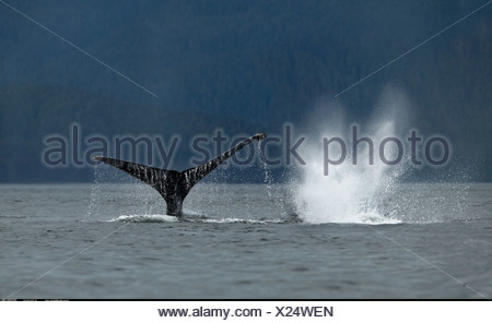 Humpback Whale Petersberg Alaska - Stock Photo