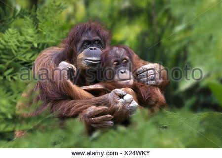 Sumatran Orang-utan - Stock Photo