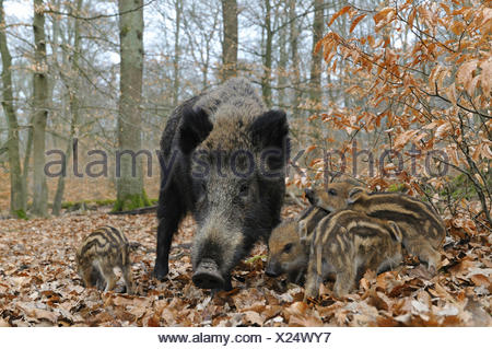 Wild boar (Sus scrofa), sow with her piglets, captive, North Rhine-Westphalia, Germany - Stock Photo