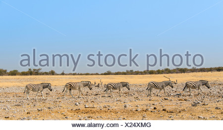 Burchell's Zebras (Equus burchellii), Etosha National Park, Namibia - Stock Photo