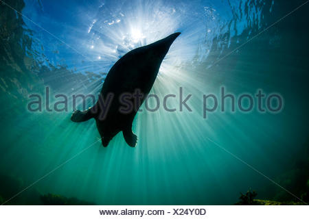 Large adult female grey seal (gray seal: Halichoerus grypus) silhoutted against sun. Lundy Island, Devon, England, United Kingdom. British Isles. Bristol Channel. North East Altantic Ocean. - Stock Photo