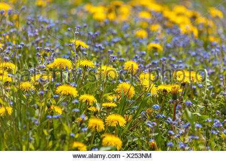 botany, flower meadow in the Muehlwald valley, Tauferer Ahrntal (Ahrn Valley), South Tyrol, Italy, Additional-Rights-Clearance-Info-Not-Available - Stock Photo