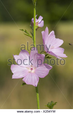musk mallow, malva moschata - Stock Photo