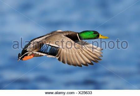 Male Mallard in flight at Esquimalt Lagoon, near Victoria, Canada - Stock Photo