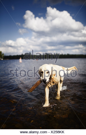 USA wet dog family pet shallow water carrying stick - Stock Photo