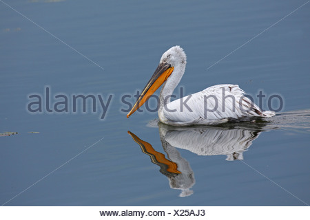 Dalmatian pelican (Pelecanus crispus), swimming, Greece, Kerkini-See - Stock Photo