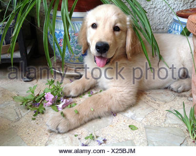 Golden Retriever puppy chewing plants - Stock Photo
