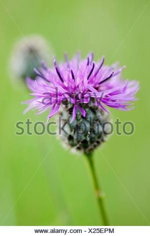 Knapweed, Black knapweed, Centaurea nigra. - Stock Photo