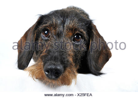 Wire-haired Dachshund, Wire-haired sausage dog, domestic dog (Canis lupus f. familiaris), lying dachshund in front of white background, Europe, Germany - Stock Photo