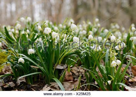 Many Spring Snowflake (Leucojum vernum) plants in a forest, Bavaria, Germany. - Stock Photo