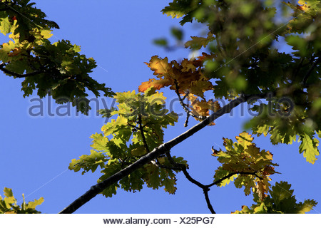 Oak leaves in autumn sunshine. - Stock Photo