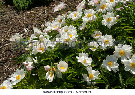 Chinese Peony - Stock Photo