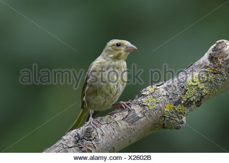 Immature male greenfinch (Carduelis chloris) on branch. - Stock Photo
