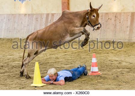 Dwarf Zebu Bos taurus indicus jumping over woman lying ground Germany - Stock Photo