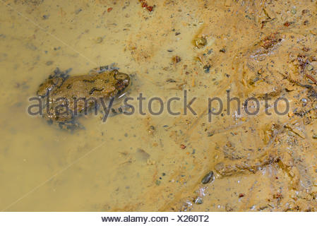 yellow-bellied toad, yellowbelly toad, variegated fire-toad (Bombina variegata), yellow-bellied toad sitting at the edge of a muddy puddle, Romania - Stock Photo