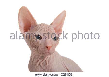 Don Sphynx kitten, 8 weeks, Red - Stock Photo