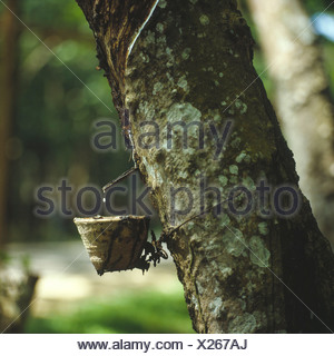 Close-up of natural rubber latex being collected in a container - Stock Photo