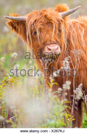highland cattle on the tiengemeten island in the Netherlands during autumn - Stock Photo