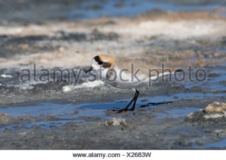 Puna Clover (Charadrius alticola) standing in shallow water. San Pedro de Atacama, Chile - Stock Photo