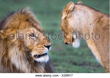 Male and female African Lion at Big Marsh, Ndutu, Serengeti, Tanzania - Stock Photo