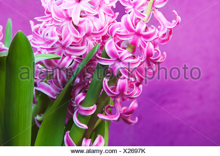 Hyacinthus cultivar, Hyacinth, Pink. - Stock Photo