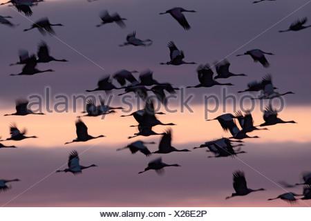 Common Cranes  in spring,  Lake Hornborgasjoen, Sweden - Stock Photo