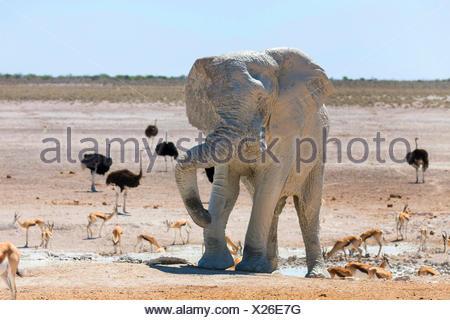 African elephant (Loxodonta africana), elefant after mud bath in a waterhole with impalas and ostriches, Namibia, Etosha , Etosha National Park, Naumutoni - Stock Photo