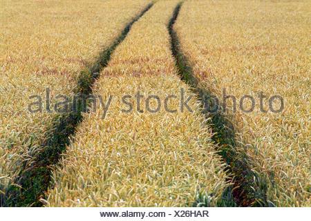 Saat-Weizen, Saatweizen, Weich-Weizen, Weichweizen, Weizen (Triticum aestivum), Traktorspuren in einem unkrautfreien Weizenfeld, - Stock Photo
