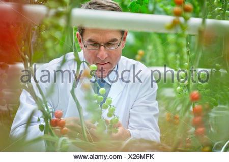 Food scientist examining tomatoes ripening on vine - Stock Photo