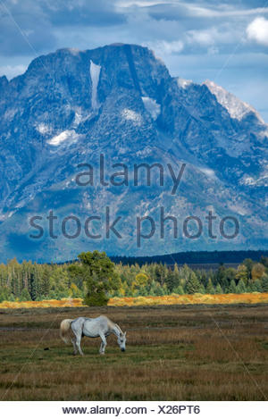 Horse, animal, Grand Teton, mountain, National Park, Wyoming, USA, United States, America, - Stock Photo