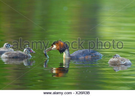 great crested grebe (Podiceps cristatus), adult bird with feed in the bill swimming with three young animals on the water, Germany - Stock Photo