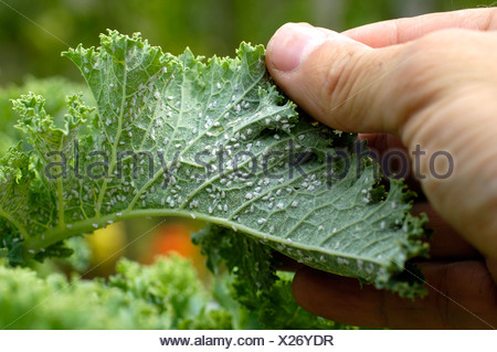 Aphids on Curly Kale - Stock Photo