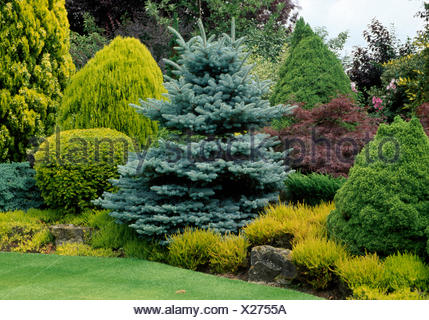 Well tended conifer border with a variety of conifer shrubs in large country garden - Stock Photo
