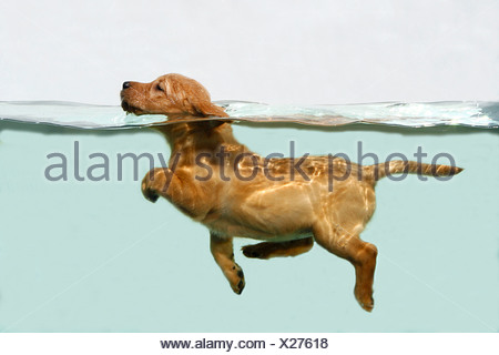 Labrador Retriever. Puppy swimming in an aquarium - Stock Photo