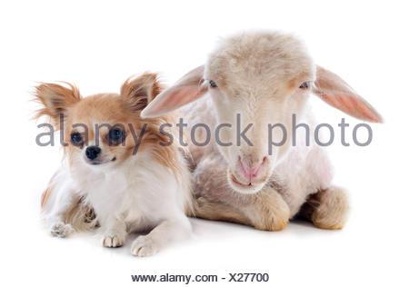 sheep, dog, three, cat baby, kitten, ewe, pussycat, cat, domestic cat, lamb, - Stock Photo