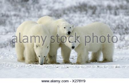 zoology / animals, mammal / mammalian, bear, polar bear, (Ursus maritimus), three bears, Churchill, Canada, distribution: Arctic Areas, Additional-Rights-Clearance-Info-Not-Available - Stock Photo