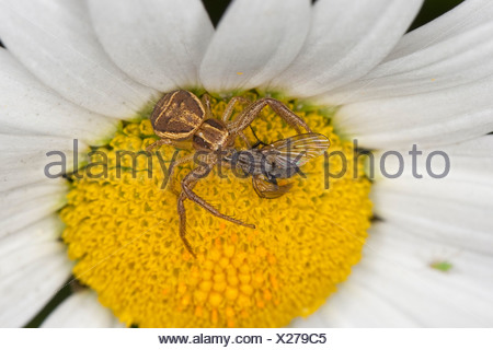 crab spider (Xysticus ulmi), female on a flower with caught prey, Germany - Stock Photo