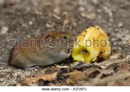Bank vole (Myodes glareolus) eating an apple cores, Croatia - Stock Photo