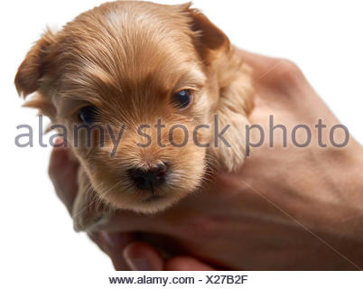 Havanese puppy looks into the camera with his tongue out, holding puppy in hand. - Stock Photo