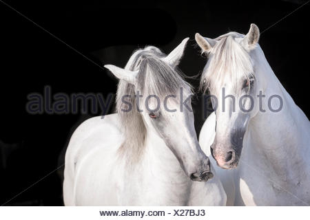 Pure Spanish Horse, Andalusian. Portrait of two gray stallions, seen against a black background. Germany - Stock Photo