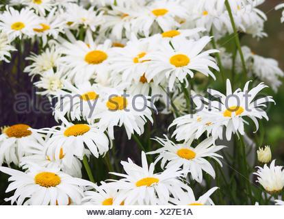 Shasta daisy, Leucanthemum  superbum, flowers. - Stock Photo