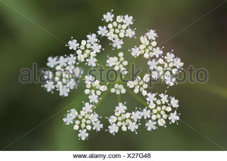 Close up of Apiaceae or Umbelliferae flowers, commonly known as the celery, carrot or parsley family. - Stock Photo