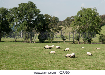 Great Britain, Wales, Brecon Beacons, Black Mountains, Vale of Ewyas, Sheep grazing in a field - Stock Photo