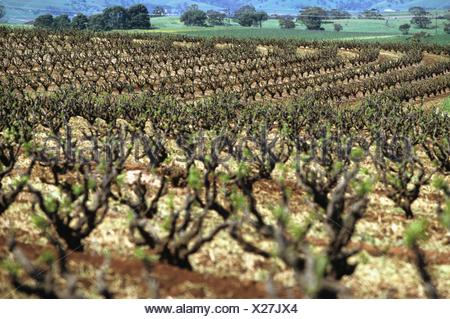 Rows of vines in springtime in the renowned wine region of the Barossa Valley in Australia - Stock Photo