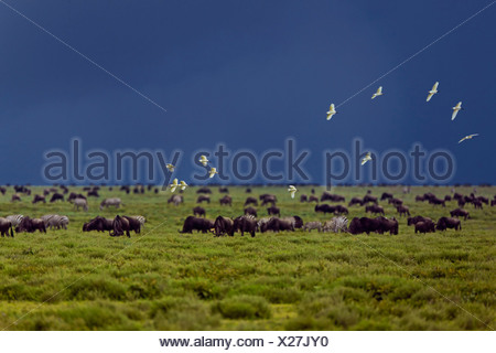 Birds flocking above a grazing herd of Blue Wildebeest (Connochaetes taurinus) in front of an approaching storm, Serengeti - Stock Photo