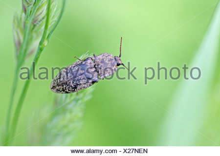Elateridae sp beetle on end of grass blade  from back - Stock Photo